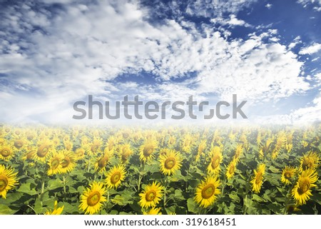 Sunflower fields and Sky