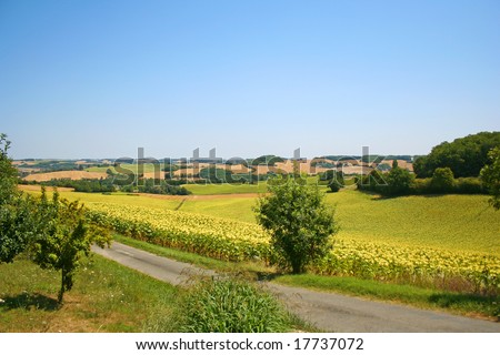 Sunflower fields in southern France