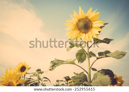 sunflower flower field blue sky vintage retro - stock photo