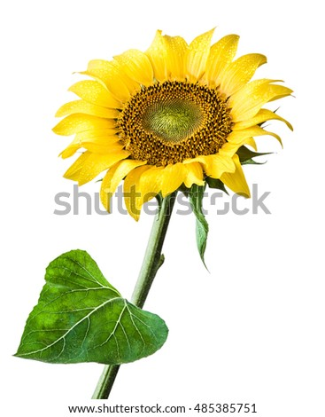 sunflower flower isolated on a white background