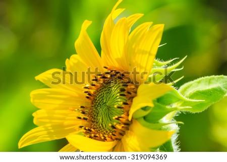 Sunflower,flower , macro flower - stock photo