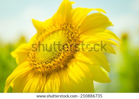 Sunflower flower on green blurred background of sky and field. Flower plant sunflower. One sunflower rising above. Ukraine sunflowers. Yellow flower in a field, blurred background.  - stock photo