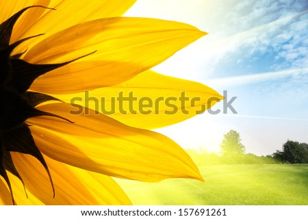 Sunflower flower over beautiful field landscape background - stock photo