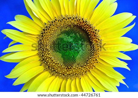Sunflower flower, symbolic of African continent. - stock photo