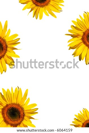 Sunflower flowerhead sections in full bloom creating a border, against a white background. - stock photo