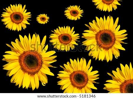 Sunflower flowerheads in full bloom against a black background. - stock photo