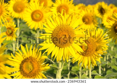 Sunflower flowers - stock photo