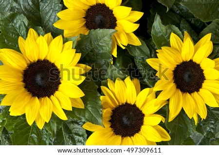 Sunflower flowers pattern nature background