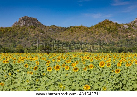 Sunflower full blooming fleld with mountain and clear blue sky background