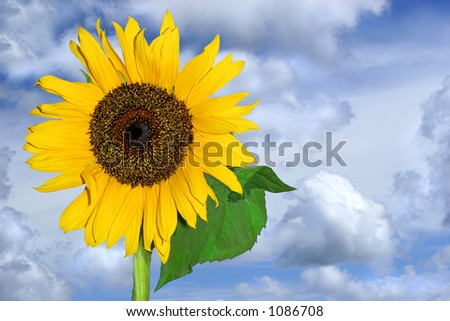 Sunflower, fully open, against a blue sky and clouds. - stock photo