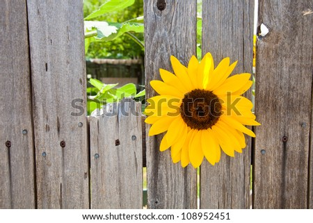 Sunflower growing in between the slats of a wood fence - stock photo