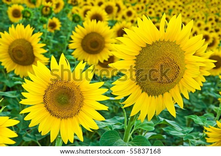 Sunflower grows on the field - stock photo