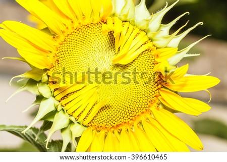 Sunflower has not fully bloom. - stock photo