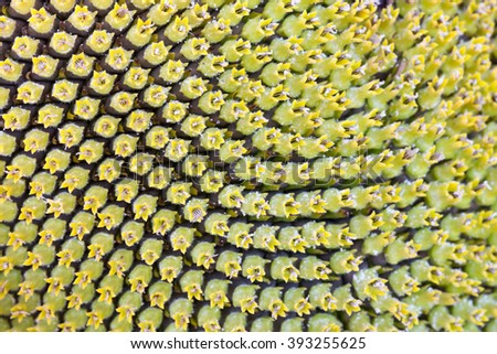 Sunflower head closeup with green seeds. Macro. Photo can be used as a whole background. - stock photo