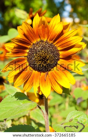 sunflower, helianthus. a tall North American plant of the daisy family, with very large golden-rayed flowers. Sunflowers are cultivated for their edible seeds,  - stock photo