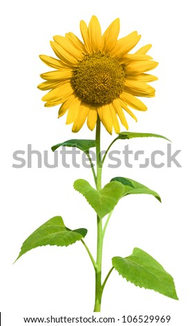 Sunflower (Helianthus annuus) - stock photo