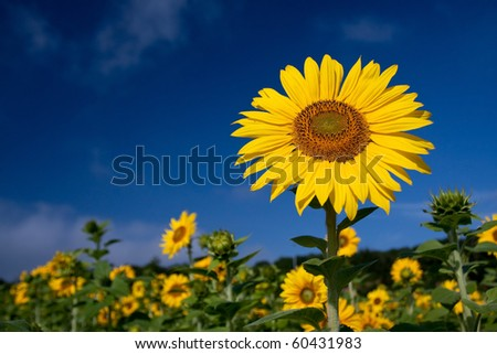 sunflower - Helianthus annuus - stock photo