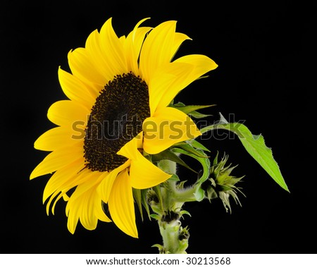 Sunflower (Helianthus Annuus) - Asteraceae on black background - stock photo