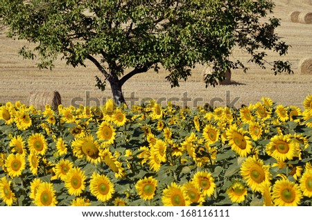 Sunflower (Helianthus annuus) field and tree in France in the Tarn department, Midi-Pyrenees region - stock photo