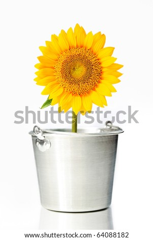 Sunflower in a bucket - stock photo