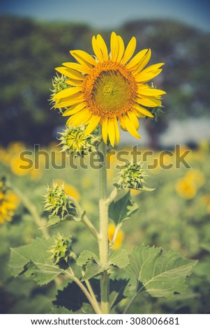 Sunflower in a field in summer (Vintage filter used) - stock photo