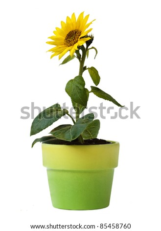 Sunflower in a Flower Pot Isolated on a white background - stock photo
