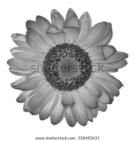 Sunflower in black and white on white background.