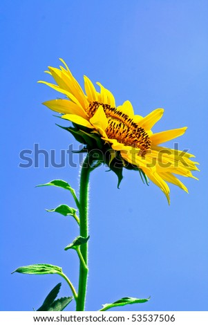 Sunflower in bloom - stock photo