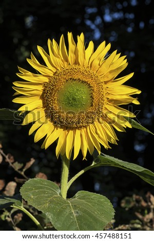 Sunflower in early morning light with drops of dew on center disk flowers. Helianthus or sunflower is a genus of plants comprising about 70 species in the family Compositae. - stock photo
