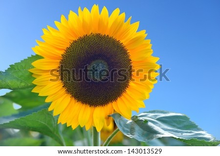 Sunflower in front of a blue sky