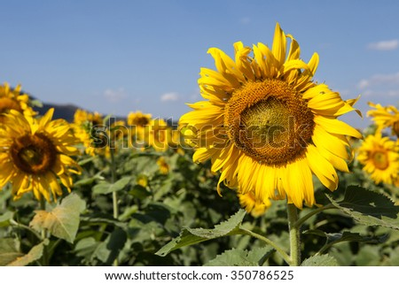 Sunflower in garden with sky background. Sunflower garden during the daytime with sun light. ( selective focus ) - stock photo