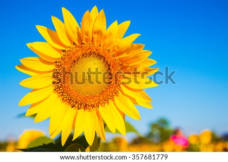 Sunflower in garden with sky background. Sunflower garden during the daytime with sun light. - stock photo