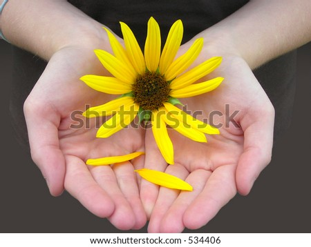 Sunflower in girls hands - stock photo
