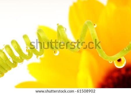 sunflower in raindrops macro - stock photo