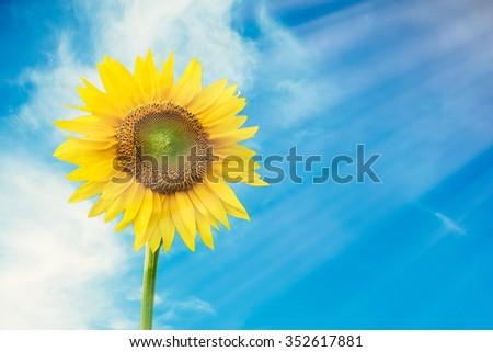 Sunflower in sky background. Sunflower with sun light. - stock photo