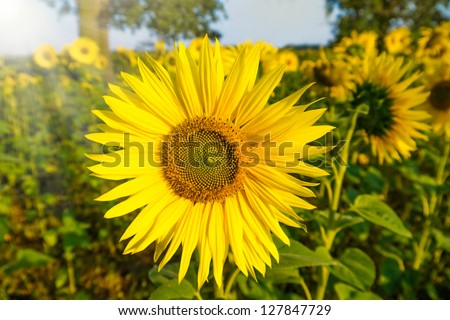 sunflower in sun on a field in sunlight - stock photo