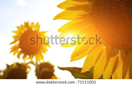 Sunflower in sunbeams. Abstract composition - stock photo