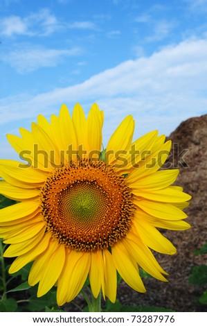 Sunflower In Thailand - stock photo