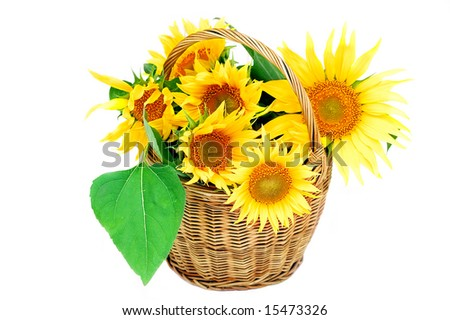 Sunflower in the basket - stock photo