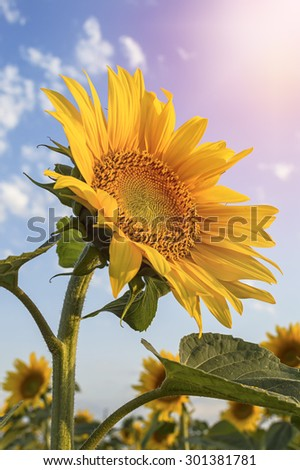 Sunflower in the field against a blue sky. - stock photo