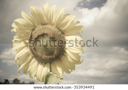 Sunflower in the field against a cloudy blue sky. - stock photo