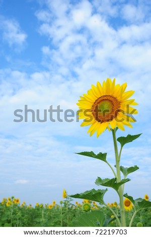 Sunflower in the field thailand - stock photo