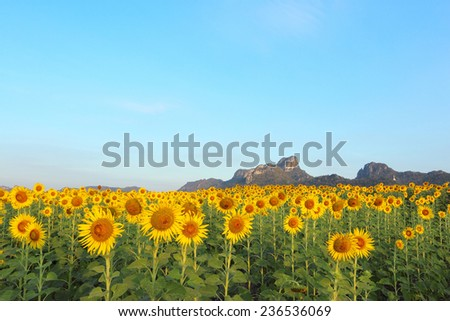 Sunflower in the morning sun shine on moutain background with blue sky - stock photo