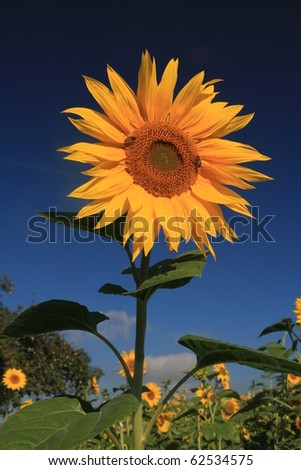 Sunflower in the sun - stock photo