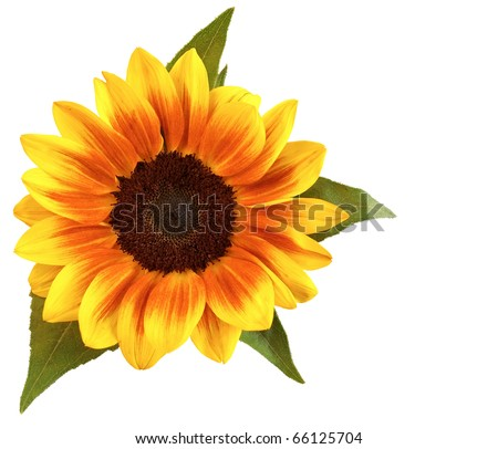 Sunflower in white background - stock photo