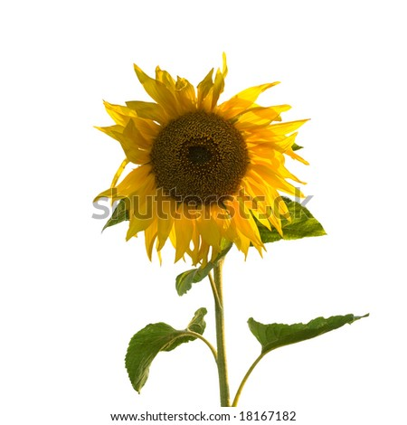 Sunflower (Isolated) - stock photo