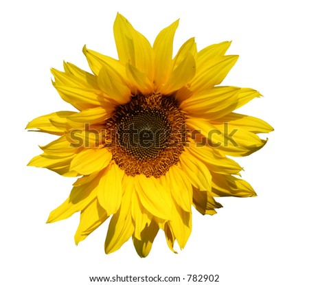 Sunflower isolated for easy usage - stock photo