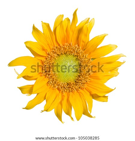 Sunflower isolated in white background with clipping path - stock photo