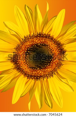 Sunflower isolated on a gradient yellow and orange background. - stock photo
