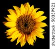 sunflower isolated on a pure black background - stock photo